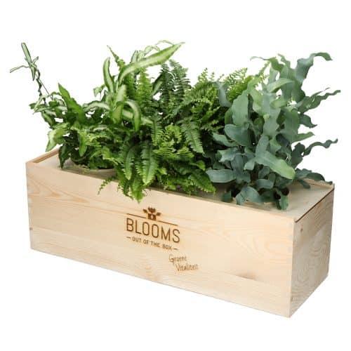 Blooms out of the Box – luchtzuiverende varens (Maat L, vanaf 10 stuks) Beleven