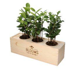 Blooms out of the Box – Theeplanten met thee (vanaf 10 stuks) Beleven